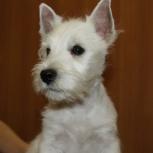 Собака щенок вест хайленд вайт терьера папа чемпион мира, Пермь