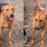 Рыжий апельсинчик  пес Лирой, Пермь
