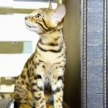 Ручной леопард кошка, Пермь