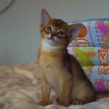 Абиссинские котятки, Пермь