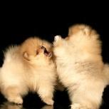 Белые и кремовые шпицедети щенки, Пермь
