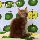 Котята мейн кун - уникального красного окраса, Пермь