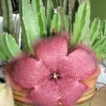 Кактус цветущий Стапелия крупноцветковая, Пермь