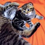 Котята шотландской вислоухой кошки, Пермь
