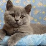 Британские  голубые котята, Пермь