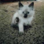 Тайские котята!, Пермь