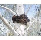 Березовый гриб Чага, Пермь