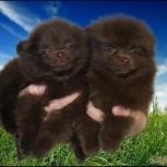 Шоколадные детки щенки, Пермь