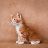 Рыжие котята Мейн Кун, Пермь