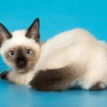 Котята редкой самой маленькой породы кошек той-боб, Пермь