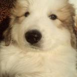 Щенки Пиренейской горной собаки, Пермь