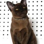 Бурманские котята в окрасе-соболь, Пермь
