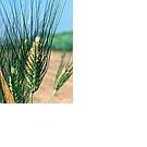 Зерно: овес, пшеница, ячмень, Пермь