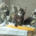 Фактурные котята мейн кун от Большого Еврочемпиона, Пермь