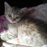 котенок девочка породы шотландская вислоухая продам, Пермь