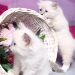Котята породы невская маскарадная c документами, Пермь