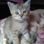 шотландская вислоухая котенок девочка(прямоухая) продам, Пермь