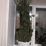 Отдам кактус бесплатно. Высота 1,5 метра, Пермь