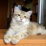 Сибирский котенок редкого золотого окраса, Пермь