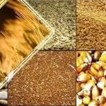 Закупаем зерно (пшеницу, ячмень, овес, рожь) на постоянной основе, Пермь