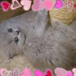 Британские длинношерстные котята (хайленд), Пермь