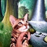 Крупные чистопородные бенгальские котята, Пермь