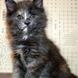 Кошечка Мейн-кун, Пермь