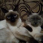 Тайские котята, Пермь