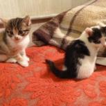 Две  маленьких пушистеньких кошечки будут рады обрести своего хозяина, Пермь