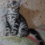 Котята американской короткошерстной породы, Пермь