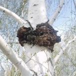 Березовый гриб (чага), Пермь