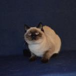 Продаётся шотландский кот, Пермь