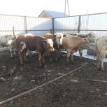 Симменталы бычки и телочки, Пермь