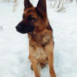 Собака, немецкая овчарка в добрые руки, Пермь