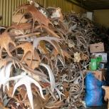 Купим рога лося и оленя оптом и поштучно. Продать рога Пермь, Пермь
